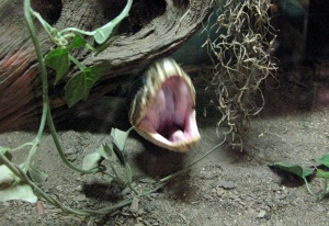 A ferocious rattlesnake - or just yawning.