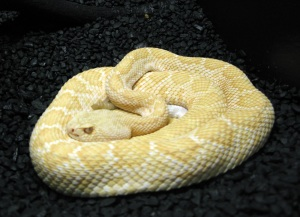 The albino rattlesnake looked grumpy.