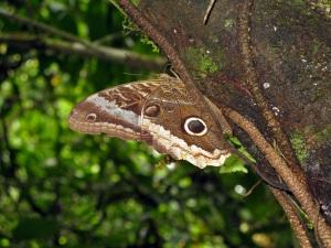 An owl eye butterfly.
